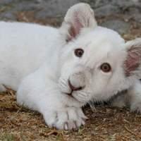 Muere de un paro cardíaco  Xonotli, el león blanco que causó sensación en Tlaxcala