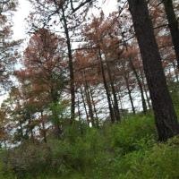 Gusano descortezador llega a Santa Cruz Tlaxcala, gestor donará árboles